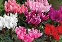 kỹ thuật trồng cây và chăm sóc hoa anh thảo đẹp hút hồn
