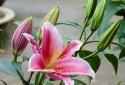 Loài hoa quý nhà nào cũng trưng bày trong ngày tết nhưng cực độc