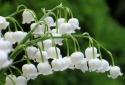 8 loại hoa chơi Tết có thể hại sức khỏe cần tránh xa