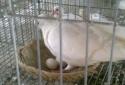 Kỹ thuật nuôi Chim bồ câu Pháp kiếm tiền triệu cực đơn giản