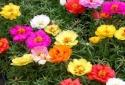 Kỹ thuật trồng cây hoa Mười giờ Mỹ nhiều màu đẹp lung linh