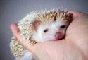Kỹ thuật nuôi nhím cảnh- thú cưng cho các cô nàng yêu động vật
