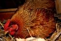 Kỹ thuật nuôi gà ta đẻ trứng kiếm tiền triệu mỗi ngày dễ như chơi