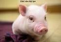 Phó Thủ tướng yêu cầu đẩy mạnh xuất khẩu thịt lợn