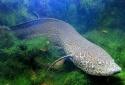 Kinh ngạc loài cá sống được trên cạn, chết đuối nếu ở dưới nước quá lâu