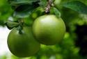 Kỹ thuật trồng cây Đào tiên vừa làm cảnh vừa lấy quả chữa bệnh cực tốt