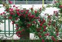 Mách nhỏ vài bước kỹ thuật trồng cây hoa hồng tường vi nở rực rỡ quanh năm