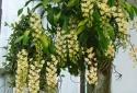 Kỹ thuật trồng hoa lan ghép gốc cây độc, lạ và đẹp bất ngờ