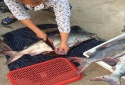 Lộ độc chiêu... bơm tiết lợn vào cá thu lừa người mua