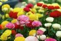 Kỹ thuật trồng hoa Mao lương mang thịnh vượng, vẻ đẹp tròn đầy quyến rũ