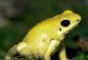 Nhận diện loài ếch đẹp nhất hành tinh có thể giết 20 người trong nháy mắt