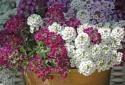 Trồng hoa ngàn sao cho vườn nhà rực sắc hương ngày Tết
