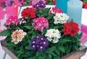 Muốn ngày Tết rực rỡ sắc hoa, may mắn quanh năm thì nên trồng cây Diễm Châu