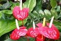 Hoa hồng môn có chất độc 'chết người' đừng dại chưng Tết