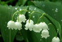 Cây độc: Hoa Linh Lan nhỏ bé đáng yêu, lại chứa độc toàn thân gây co giật