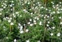 Kỹ thuật trồng cây Mai Chỉ thiên để trừ tà mang may mắn quanh năm