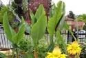 May mắn, tài lộc đầy nhà nếu trồng cây chuối tài lộc chưng Tết