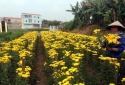 Tết Mậu Tuất 2018: Những vườn hoa ngoại thành Hà Nội đã sẵn sàng 'bung lụa'