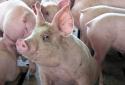 Giá cả thị trường ngày 23/1: Giá lợn hơi tại miền Bắc từ 33.000 - 35.000 đồng/kg