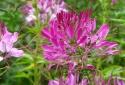Hoa râu mèo đẹp lung linh, rực rỡ, kỹ thuật trồng cực đơn giản