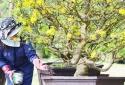 Vài bước đơn giản trồng và chăm sóc cây mai sau Tết