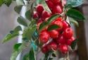 Vài kinh nghiệm kỹ thuật trồng cây nhót ra nhiều trái vô cùng đơn giản