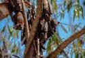 10 người chết nghi nhiễm virut Nipah từ Dơi ăn trái cây