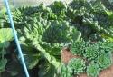 Kỹ thuật trồng cây rau cải hoa hồng đẹp mê li, ăn siêu ngon