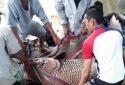 Giăng lưới bắt được cá hô vàng nặng 125kg, bán ngay thu 300 triệu