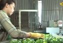 Tăng năng suất và cải thiệt chất lượng là bài giải cho nền nông nghiệp phát triển.