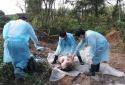FAO khuyến nghị công bố dịch tả lợn châu Phi ở tình trạng khẩn cấp quốc gia