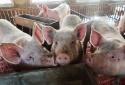 Các nước trên thế giới đối phó dịch tả lợn châu Phi bằng cách nào?