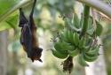 Cảnh báo - Một loài dơi chuyên ăn quả mang virus nguy hiểm lan rộng