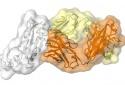 Tìm ra điểm yếu của virus corona