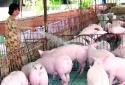 Trang trại, gia trại, hộ chăn nuôi giảm giá lợn hơi xuống mức 70.000 đồng/kg