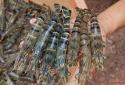 Cơ hội mới cho tôm Việt Nam xuất khẩu hậu COVID-19