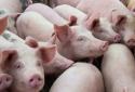 Giá heo hơi ngày 01/06/2020: Nhiều tỉnh thành giá thịt heo đang giảm
