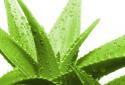 Sử dụng cây nha đam không hợp lý có thể gây tác dụng phụ cho sức khỏe và làn da