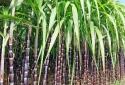 Phân bón Phú Mỹ chung tay phát triển vùng mía nguyên liệu