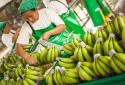 Chuối Việt Nam xuất khẩu vào châu Âu được giá cao kỷ lục