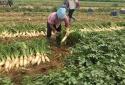 """Hà Nội thực hiện đồng bộ các giải pháp hỗ trợ nông dân tiêu thụ nông sản, tránh """"được mùa mất giá"""""""