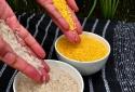 Philippines cho phép sản xuất thương mại 'gạo vàng' biến đổi gene