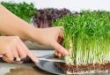 Ăn rau mầm không đúng cách có thể dẫn đến nguy cơ tử vong