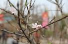 Đào rừng có giống từ 'đào Lào' xuống chợ hoa Tết, giá hàng chục triệu đồng