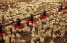 Clip: 1.000 chú gà con 'kêu gào' thảm thiết khi bị bỏ rơi giữa cánh đồng