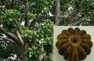 Cây ngô đồng độc và nguy hiểm thế nào?