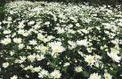 Cúc họa mi nở muộn người trồng thu hoạch giá cao
