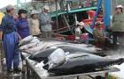 Nâng giá trị cá ngừ đại dương nhờ công nghệ Nhật Bản