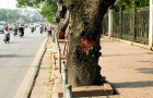 Hàng cây xà cử Hà Nội sẽ chết nếu tiếp tục bị lột vỏ diện rộng