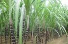 Thanh Hóa tăng năng suất mía bằng công nghệ tưới phun mưa